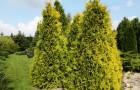 Обрезка хвойных деревьев