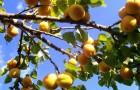 Обрезка сливы и вишни