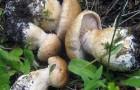 Паутинник сизоножковый