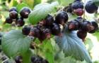Сорт смородины черной: Алеандр