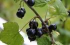 Сорт смородины черной: Аргазинская