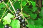 Сорт смородины черной: Белорусочка