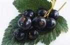 Сорт смородины черной: Бердчанка