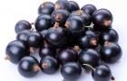 Сорт смородины черной: Березовка