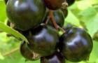 Сорт смородины черной: Бычковская