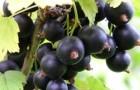 Сорт смородины черной: Чернавка