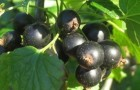Сорт смородины черной: Чишма
