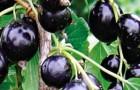 Сорт смородины черной: Дачница