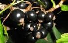 Сорт смородины черной: Дашковская