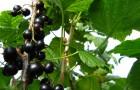 Сорт смородины черной: Экзотика