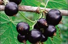 Сорт смородины черной: Эркээни