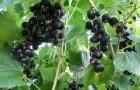 Сорт смородины черной: Гамма