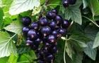 Сорт смородины черной: Глариоза
