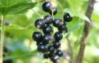 Сорт смородины черной: Хара Кыталык