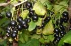 Сорт смородины черной: Имандра 2