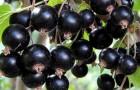 Сорт смородины черной: Канахама