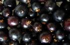 Сорт смородины черной: Катерина