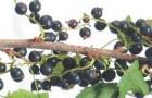Сорт смородины черной: Кипиана