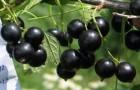 Сорт смородины черной: Креолка