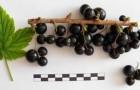 Сорт смородины черной: Лучия