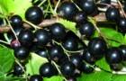 Сорт смородины черной: Люция