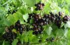 Сорт смородины черной: Минусинская степная