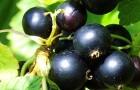 Сорт смородины черной: Мулатка