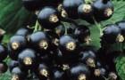 Сорт смородины черной: Мурманчанка