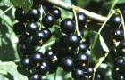 Сорт смородины черной: Ожерелье