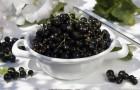 Сорт смородины черной: Память Жучкову