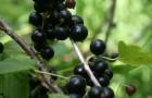 Сорт смородины черной: Перепел