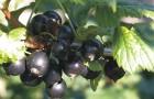 Сорт смородины черной: Перун