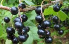 Сорт смородины черной: Петербурженка (Апатика)