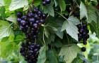 Сорт смородины черной: Подарок Ильиной