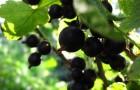 Сорт смородины черной: Подарок Куминову