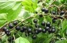 Сорт смородины черной: Престиж
