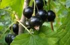 Сорт смородины черной: Радость