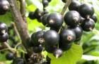 Сорт смородины черной: Рахиль