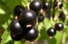 Сорт смородины черной: Саянский сувенир