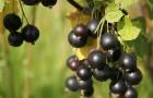 Сорт смородины черной: Селеченская 2