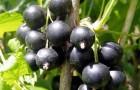 Сорт смородины черной: Селенга