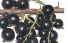 Сорт смородины черной: Сенсей