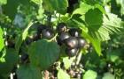 Сорт смородины черной: Тамир