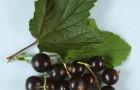 Сорт смородины черной: Тона