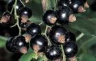 Сорт смородины черной: Увертюра