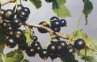 Сорт смородины черной: Велой (Ленинградская сладкая)