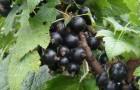 Сорт смородины черной: Велюр