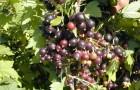 Сорт смородины черной: Володинка (Осенняя радость)