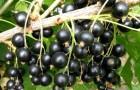 Сорт смородины черной: Воспоминание