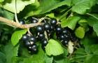 Сорт смородины черной: Журавушка